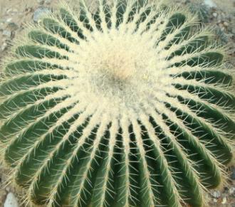 超大金琥仙人球直径10-35厘米办公室内花卉盆栽精品多肉防辐射
