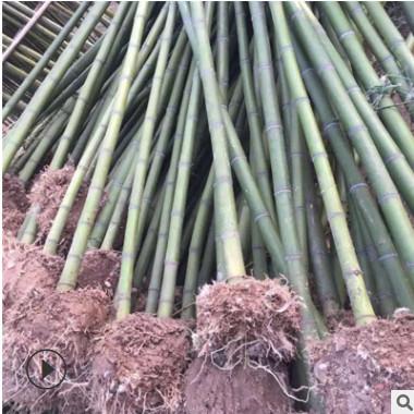 批发优质青皮竹绿化工程用竹 量大优惠基地直发竹类植物
