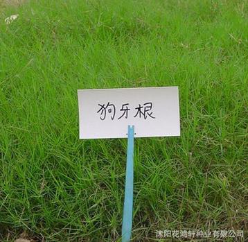 批发草坪种子批发 狗牙根包衣 护坡草坪种子 狗牙根种子 耐践踏