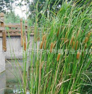 批发绿化金边细叶菖蒲水生植物 园林细叶菖蒲 石菖蒲 水菖蒲绿植