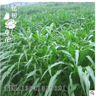 批发多年生墨西哥玉米牧草产量高 紫花苜蓿、黑麦草 苏丹草牧草