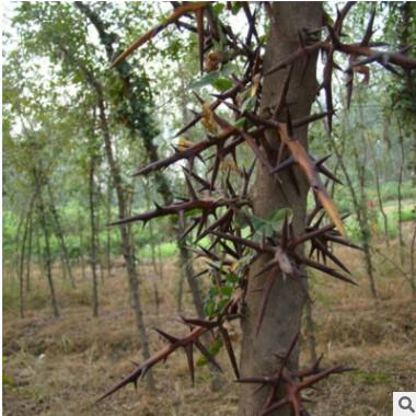 皂角苗 1-2年生皂角树小苗 2-15公分皂角树苗 山东皂角树价格