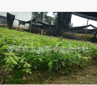 厂家批发 楠木小树苗 园林绿化植物种苗 绿化风景树苗
