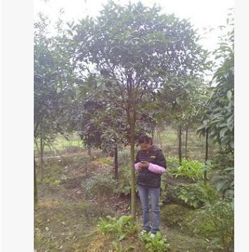 低价供应优质金桂(朱砂)5-15cm