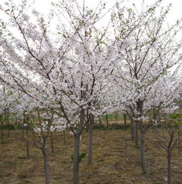 基地直售绿化工程用红叶樱花 品质好价格优 易管理红叶樱花