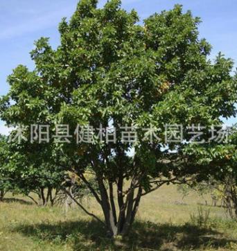 苗圃直销成活率高蒙古栎 丛生蒙古栎 蒙古栎