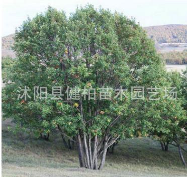 供应蒙古栎 独杆蒙古栎 丛生蒙古栎 快速发货