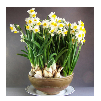 批发水仙 水仙花种球 绿植盆栽办公室水培植物 洋水仙 水培花卉