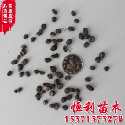 批发供应优质林木种子 大叶女贞种子 地肤种子 品种齐全 发芽率高