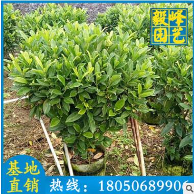 非洲茉莉球盆栽 漳州种植基地 大量供应 量大从优