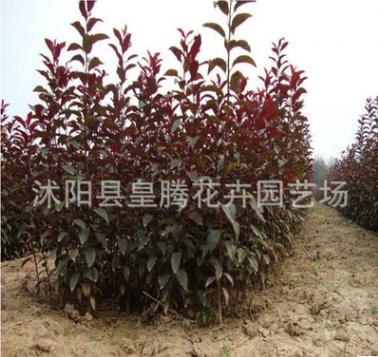 批发红叶李小苗 紫叶李种苗 根系发达 绿化苗木 苗圃苗