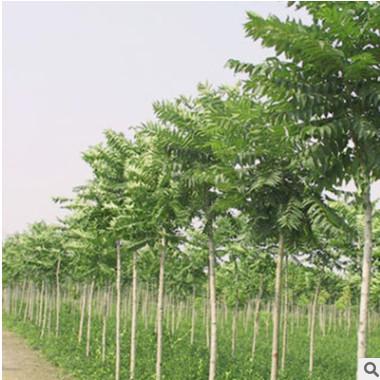 厂家直销常绿乔木优质臭椿苗木 各种绿化树苗园林植物