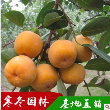 柿子树苗日本甜柿即摘即食脆甜可口嫁接柿子苗3年结果苗