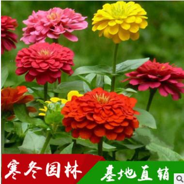 供应四季花卉种子孔雀草金盏菊万寿菊金鸡 野花组合 波斯菊百日草