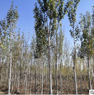 种植基地直销银棕杨乔木 耐寒耐旱 工程绿化苗木批发