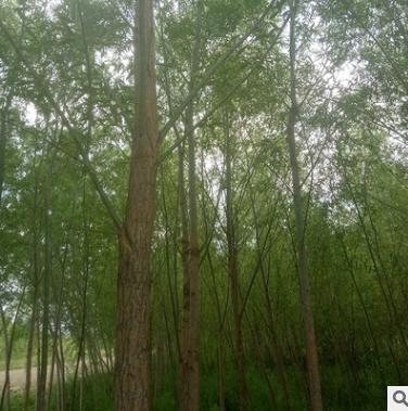 厂家批发柳树 旱柳 柳树苗 公园绿化树苗 绿化工程乔木胸径5公分