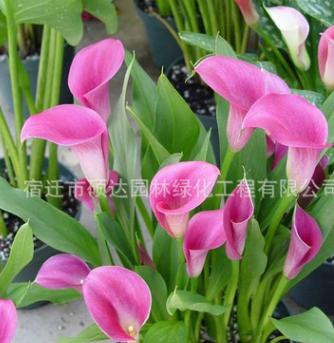 苗圃批发彩色马蹄莲 马蹄莲种球 植物花卉盆栽种球 可水培