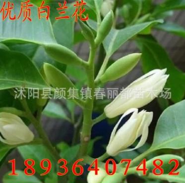 白兰树苗 高档盆栽花卉 浓香绿植 净化空气 白兰花苗