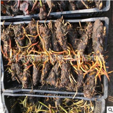 批发睡莲根块水生植物 颜色品种齐全观赏水生花卉 睡莲种苗大睡莲