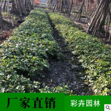 鸭脚木造型景观树盆栽批发带根编织植物树苗