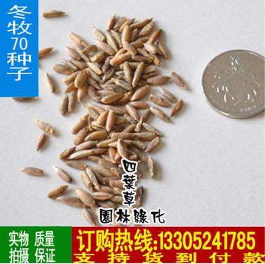 批发牧草种子 冬牧70黑麦种子 黑麦草种籽 量大优惠 发芽率高