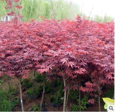 红枫树苗日本红枫美国红枫 中国红四季红庭院绿化红枫红舞姬盆栽