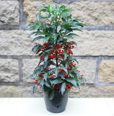 富贵籽盆栽带果 黄金两 办公室内绿植花卉 耐寒植物 招财进宝