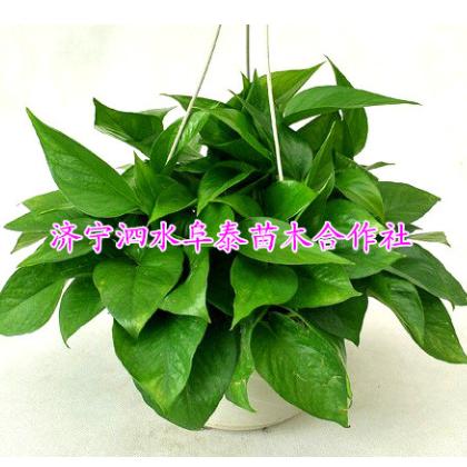 180#绿萝吊兰盆景 办公室中小型绿色花草植物花卉盆栽批发1