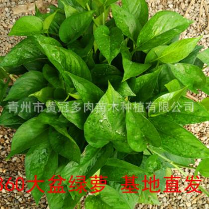 青州基地大量批发 室内盆栽【绿萝】360大盆 吸甲醛净化空气