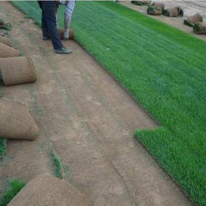 优质早熟禾 优质苗木 大量销售