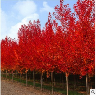 新采日本红枫种子 美国红枫种子 绿化苗种子 彩色树木种子