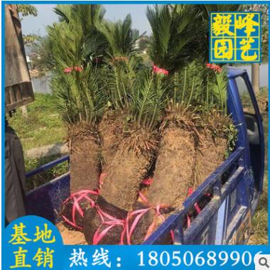 苏铁批发 铁树盆栽 绿化苗木 工程绿化苗