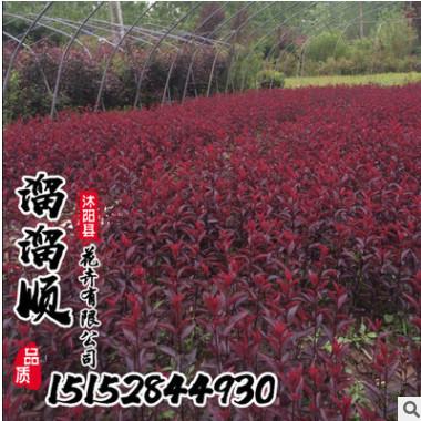 基地直销紫叶矮樱 紫叶矮樱苗 园林绿化苗木 规格齐全成活率高