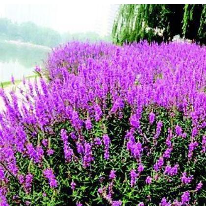 郴州绿欣花卉 千屈菜