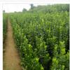 基地供应 一米以上北海道黄杨树苗 不脱脚根系强工程绿化庭院种植
