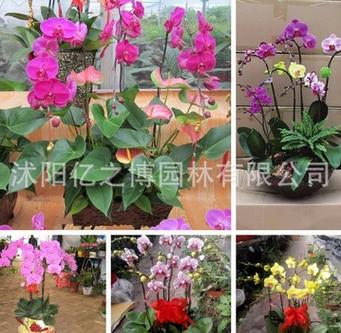蝴蝶兰 蝴蝶兰盆栽 室内室外花卉 适合南北种植 量大从优