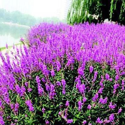 郴州南国花卉 千屈菜