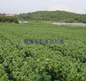 火爆热销精品京亚农作一年苗 高纯度葡萄苗批发