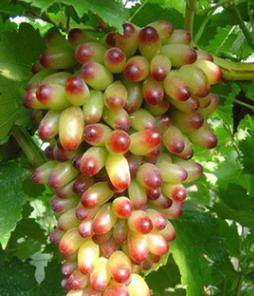 盆栽葡萄果苗木庭院嫁接葡萄果苗美人指葡萄树不生病果苗