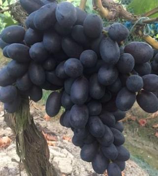 最新葡萄果苗品种黑加仑金华根深葡萄果苗基地