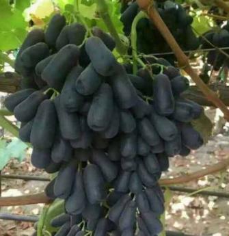 最新葡萄品种蓝宝石