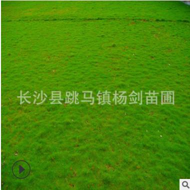 直销四季常青百慕大草皮 湖南四季常青地被草坪 保证足尺