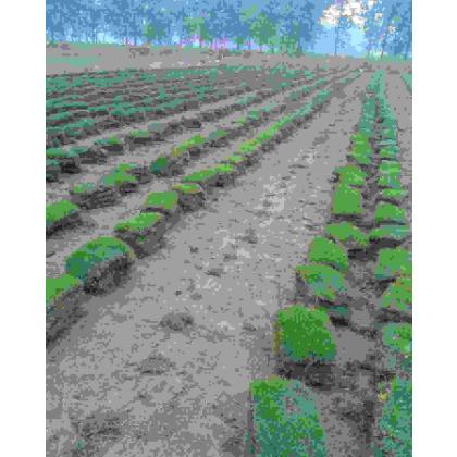 供应公路绿化草坪马里拉草皮【坪色质密 成型快 成块状不散碎】