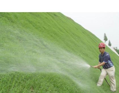 直销半矮生 耐盐碱 河堤坝绿化草坪马尼拉 护坡固土保护水土