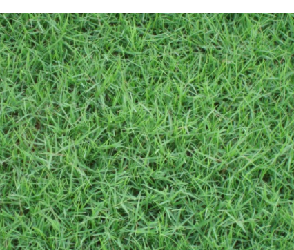 百慕大草坪籽包衣狗牙根种子原装进口草种子