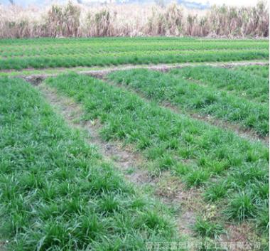 批发多年生黑麦草种子优质黑麦草种子出牙率高牧草草坪种子