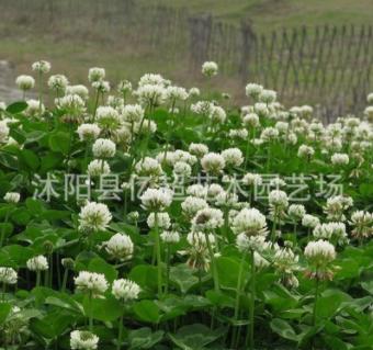 实体批发进口草坪种子 (净籽白三叶) 白车轴草幸运草 确保发芽率