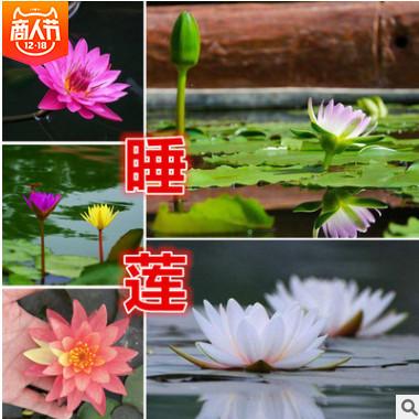 睡莲种球根块水生植物睡莲批发 承接睡莲种植 销售各种水生花卉