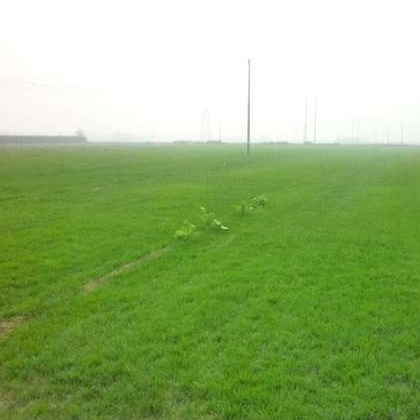 石家庄冷季型早熟禾