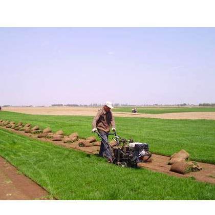 供应石家庄冷季型草坪